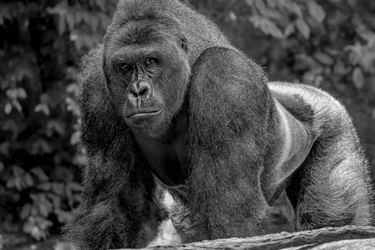 harambe-the-gorilla